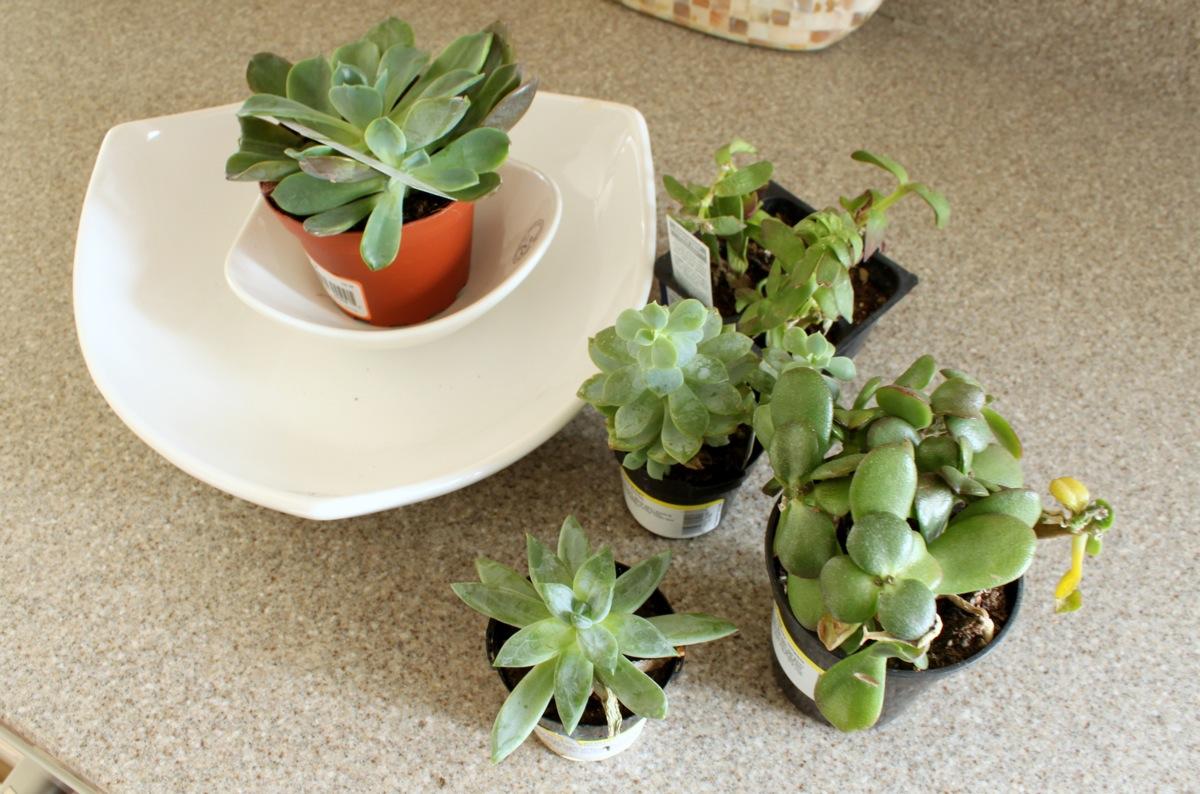 Succulents Lowes