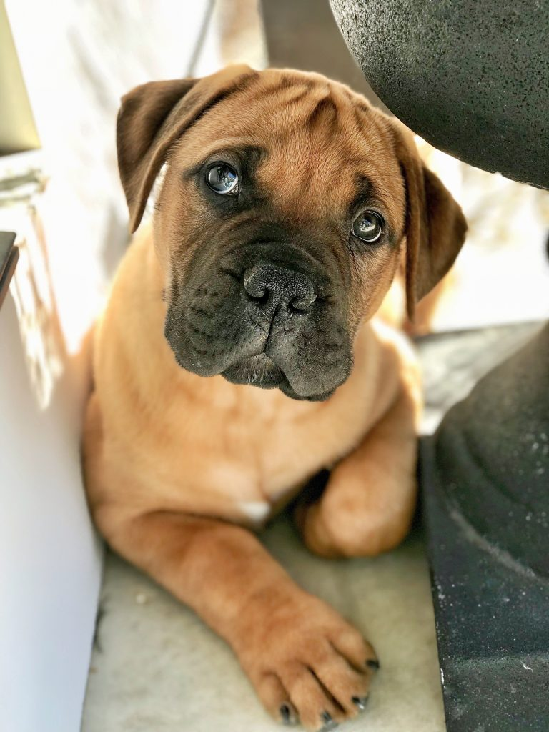 copper bullmastiff puppy